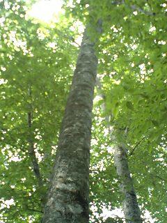 ブナの森…