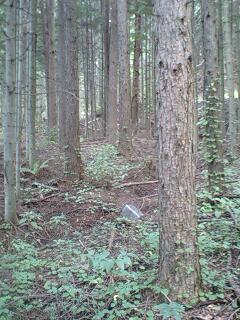 1級のカラマツ林…