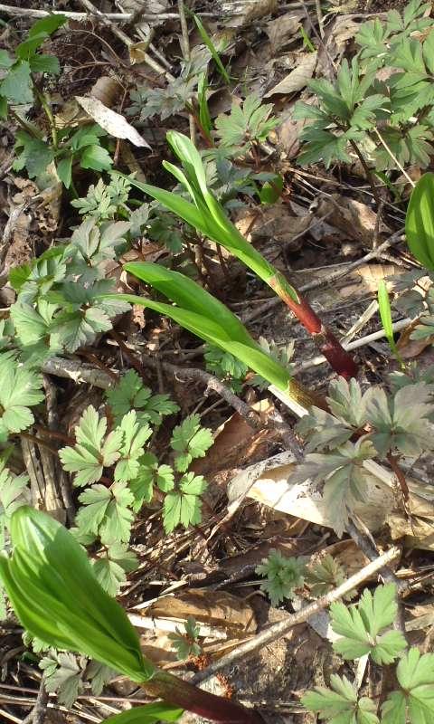 4月の旬な山菜3種(ギョウジャニンニク)
