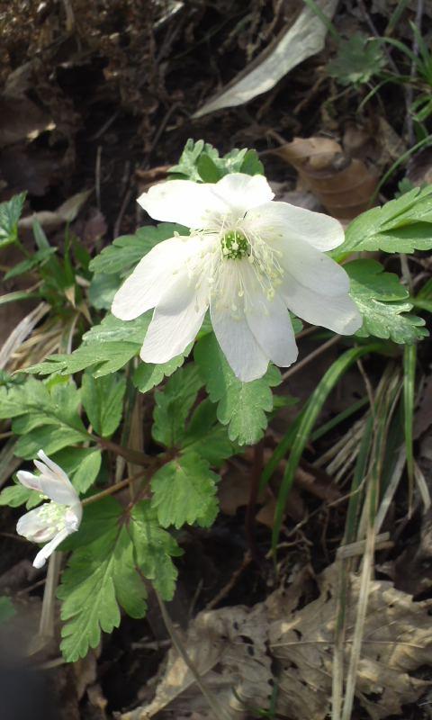 早春の渓花…