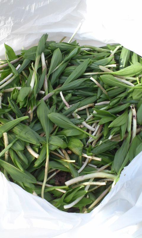 4月の旬な山菜3種(アズキナ)