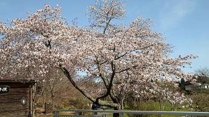 Sakura_20210505102201